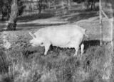 Picture relating to Watson - titled 'Large White sow [ pig] at the Government hog farm, Federal Highway, Watson.'