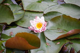 Picture relating to Daylesford - titled 'A pretty lily pad flower at Lake Jubilee,Daylesford'