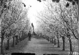 Picture relating to Weston - titled 'Charles Weston standing beside flowering plum trees at Yarralumla Nursery'