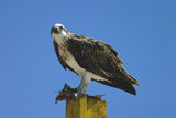 Picture relating to Yardie Creek - titled 'Osprey'