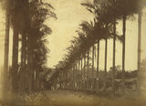Picture relating to Cleveland - titled 'Avenue of palms in Cleveland'