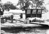 Picture relating to Federal Highway - titled 'Pigs at the feeding trough at the Government hog farm off the Federal Highway, Watson.'