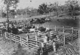 Picture relating to Queensland - titled 'Cattle branding, 1890s'