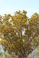 Picture relating to Timber Creek - titled 'Wattle Tree'