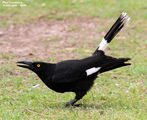Birds of New South Wales - #1 - Tweed Coast Region Pied Currawong, Tumbulgum, NSW