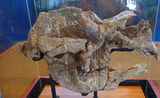 Picture of / about 'Coonabarabran' New South Wales - Megadon Fossilized Skull at Coonabarabran Visitors Centre