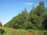 Picture of / about 'Brigooda' Queensland - Brigooda plantation
