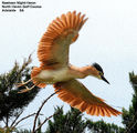 Picture of / about 'South Australia' South Australia - Birds of South Australia - #4 – Port Lincoln / Adelaide / Kangaroo Island