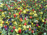 Picture relating to Parkes - titled 'Tulip and violet displays at Floriade'
