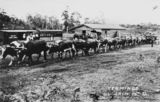 Picture relating to Buderim - titled 'Team of bullocks near the tramway terminus in Buderim, ca.1920'