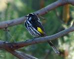 Picture relating to Yass - titled 'New Holland Honeyeater'