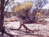 Picture of / about 'Cashmere Downs' Western Australia - Cashmere Downs - Goannas