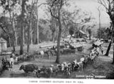 Picture relating to Enoggera - titled 'Cattle-teams hauling logs at Enoggera, Brisbane, 1893'
