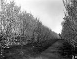 Picture relating to Yarralumla - titled 'Flowering peach trees in Yarralumla Nursery'