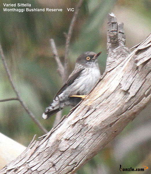 Picture of / about 'Victoria' Victoria - Birds of Victoria - #5 - South Gippsland