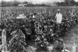 Picture of / about 'Toowoomba' Queensland - Two women, a man and a child pick grapes at Constancia Vineyard, Toowoomba