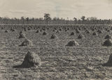 Picture of / about 'Wooroolin' Queensland - Peanut field after harvest at Wooroolin, in the Kigaroy district